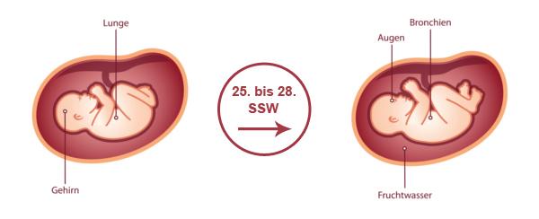 Überblick zur Entwicklung des Babys im 7. SSM